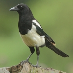 Magpie - Forest of Dean - 2011