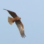 Marsh Harrier - Thornham - 2016