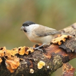 Marsh Tit - Highnam - 2012