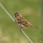 Meadow Pipit - Cley NR - 2011