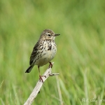 Meadow Pipit - Thornham - 2012