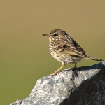 Meadow Pipit - Harris - 2018