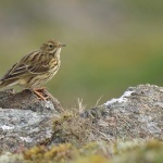 Meadow Pipit - Malvern - 2020