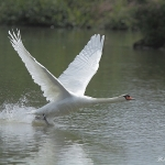 Mute Swan - Slimbridge WT - 2013