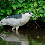 Night Heron - Shrewsbury - 2017