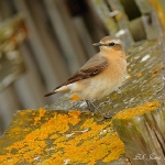 Wheatear - Thornham - 2012