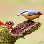Nuthatch -Forest of Dean - 2011