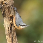 Nuthatch - Highnam NR - 2012