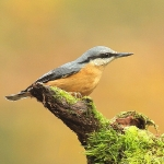 Nuthatch - Forest of Dean - 2011