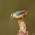 Nuthatch - Brocton - 2013