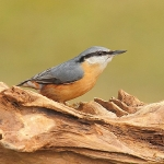 Nuthatch - Brocton - 2012