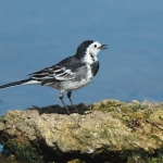 Pied Wagtail - Slimbridge WWT - 2018