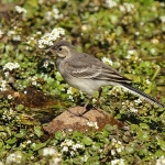 Pied Wagtail - Martins Haven - 2011