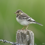 Pied Wagtail - Titchwell NR - 2010