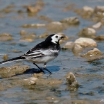 Pied Wagtail - Slimbridge WWT - 2019