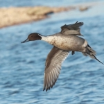 Pintail Slimbridge WWT - 2018