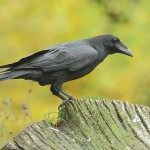 Raven - Forest of Dean - 2011
