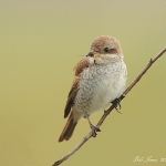 Red -backed Shrike - Everleigh - 2012