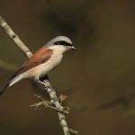 Red-Backed Shrike - Sutton Park - 2020
