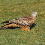 Red Kite - Gigrin Farm - 2012
