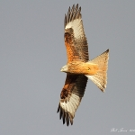 Red Kite - Gigrin Farm - 2013