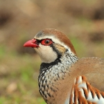 Red-Legged Partridge - Alcester - 2011