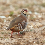 Red-Legged Partridge - Norfolk - 2015