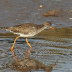 Redshank - Thornham - 2012