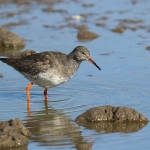 Redshank - Slimbridge - 2016