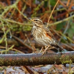 Redwing - Alcester - 2012