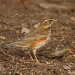 Redwing - Alcester - 2011