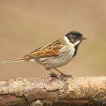Reed Bunting - Wark's - 2012