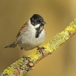 Reed Bunting - Wark's - 2011