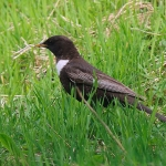Ring Ouzel - Aviemore - 2016