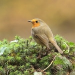 Robin - Forest of Dean - 2011