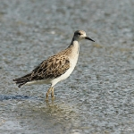 Ruff - Slimbridge WT - 2013