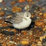 Sanderling - Norfolk - 2014
