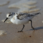 Sanderling - Snettisham - 2019