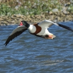 Shelduck - Slimbridge WWT - 2018