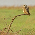 Short Eared Owl - Aust Warth - 2011