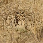 Short Eared Owl - Northant's - 2012
