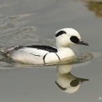 Smew - Slimbridge WT - 2013