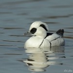 Smew - Slimbridge WT - 2011