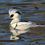 Smew - Slimbridge - 2017