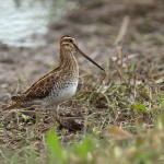 Snipe - Slimbridge WWT - 2017