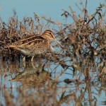 Snipe - Slimbridge WWT - 2018