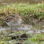 Snipe - Slimbridge - 2017
