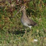 Snipe - Slimbridge WWT - 2020