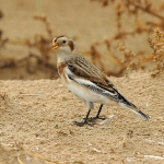 Snow Bunting - Titchwell NR - 2013