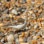 Snow Bunting - Salthouse - 2013
